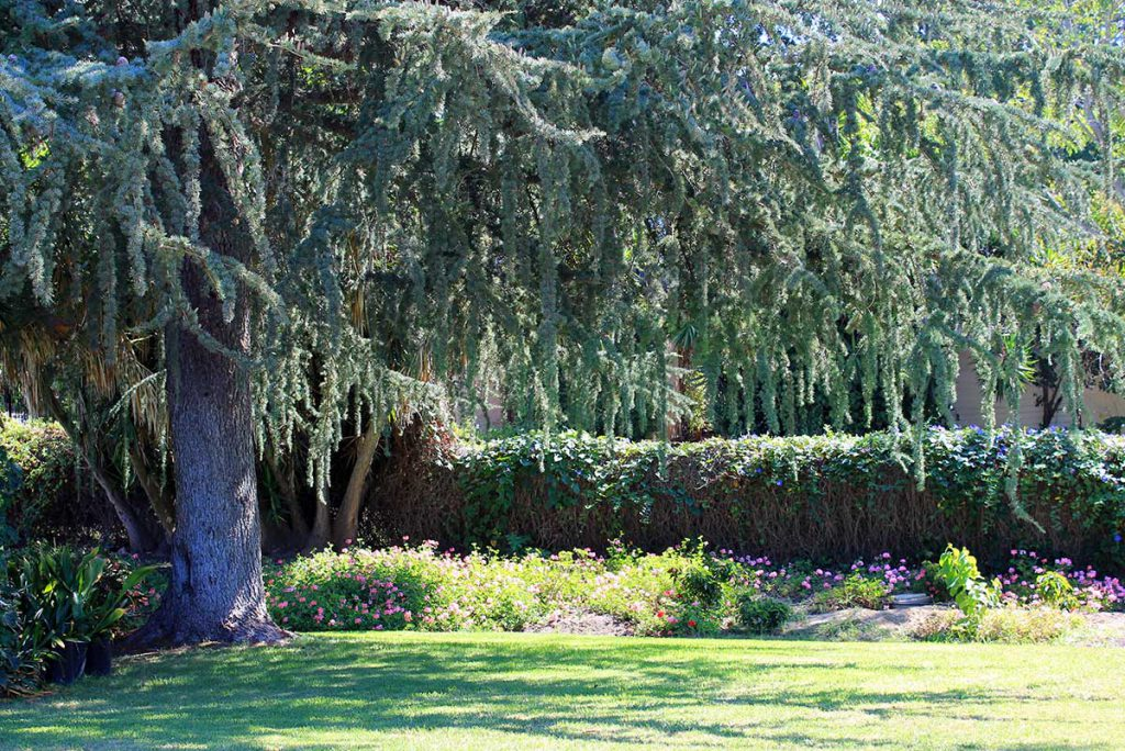 Shade tree on the East Lawn at Wood Glen Hall Assisted Living in Santa Barbara